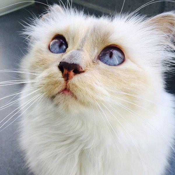 Кошка Карла Лагерфельда Шупетт